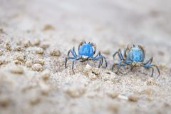 Two Blue crabs on the white beach of Siquijor, Philippines, Asia. Two small Blue crabs on the white beach of Siquijor, Philippines, Asia stock photo