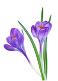 Two Blue Crocus Royalty Free Stock Photos