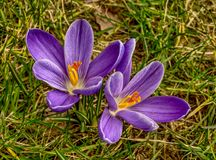 Two blue crocus flowers from above stock images