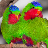 Two Blue Crowned Lorikeet Royalty Free Stock Photos