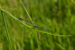 Two blue dragonflies on a background of green grass. In the early morning Royalty Free Stock Photos
