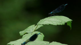 Two blue Dragonflies stock video footage
