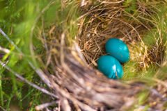 Two Blue Eggs in Nest Stock Photography