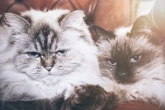 Two blue eyed cats Stock Image
