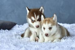 Two blue-eyed copper and light red husky puppies lying on white blanket Royalty Free Stock Image