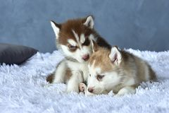 Two blue-eyed copper and light red husky puppies lying on white blanket Stock Photos