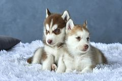 Two blue-eyed copper and light red husky puppies lying on white blanket Royalty Free Stock Photography
