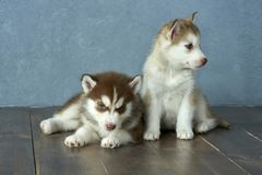 Two blue-eyed copper and light red husky puppies on wooden floor and gray-blue background Royalty Free Stock Image