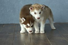 Two blue-eyed copper and light red husky puppies on wooden floor and gray-blue background Stock Photo