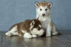 Two blue-eyed copper and light red husky puppies on wooden floor and gray-blue background Stock Photography