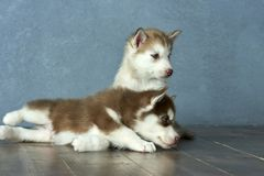 Two blue-eyed copper and light red husky puppies on wooden floor and gray-blue background Stock Photos