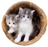 Two blue-eyed fluffy kitten in a basket. Isolated on a white background Royalty Free Stock Image