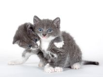 Two blue eyed gray kitten isolated. On white Royalty Free Stock Image
