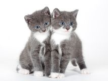 Two blue eyed gray kitten isolated. On white Stock Images