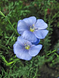 Two blue flax flowers Stock Photography