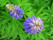 Two blue flowers. On green background Royalty Free Stock Photos