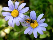 Two blue flowers and bee. Two blue flowers, yellow center, bee, wing Royalty Free Stock Image
