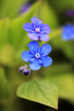 Two Blue Flowers of Omphalodes verna Close Up Stock Photo