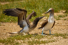 Free Two Blue-footed Boobies In Isla De La Plata, Ecuador Stock Image - 93743601
