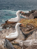 Two Blue Footed Boobies Stock Image