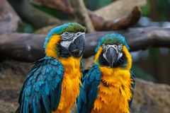 Two blue-and-gold macaw parrots Stock Photos