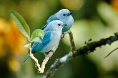 Two Blue-Gray Tanagers. Two Small Blue-Gray Tanagers Perched Together on Tree Branch Stock Photography