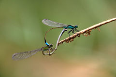 Two blue green dragonflies mating Stock Photos