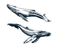 Two blue and humpback whales. Vector sketch illustration Stock Photo