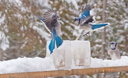 Two blue jays (disambiguation) fighting over ice feeders. Two blue jays fighting over ice feeders with another blue jay looking on Stock Photography