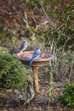 Two Blue Jays Stand On A Birdbath Stock Photos