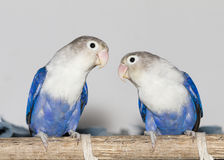 Two blue lovebirds sitting on the perch Stock Photos