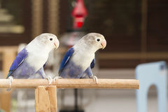 Two blue lovebirds sitting on the perch Stock Image