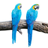 Two blue macaw on branches. isolate on white. Stock Photo