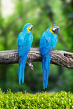 Two blue macaw on branches in tropical. Royalty Free Stock Images