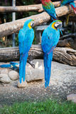 Two blue macaw perched on a tree branch in a zoo. Two blue macaw perched on a tree branch Royalty Free Stock Photography