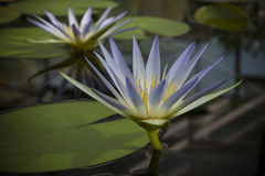 Two Blue Nile Waterlily (Nymphaea Caerulea) Flowers in Pond Royalty Free Stock Images