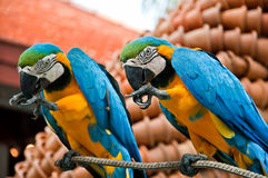 Two blue parrots royalty free stock photo