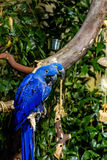 Two Blue Parrots Royalty Free Stock Image