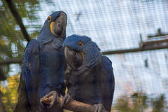 Two blue parrots squalking to each other Stock Image