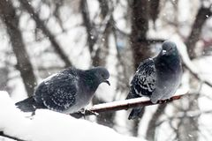 Two blue pigeons in winter royalty free stock photos