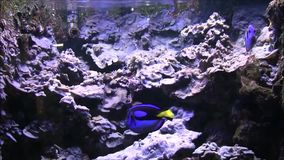 Two blue surgeon fishes in the ocean rocks. stock video