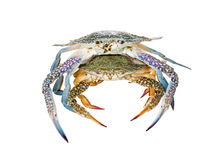 Two Blue Swimming Crabs, On white background Stock Images
