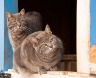 Two blue tabby cats on a half door Royalty Free Stock Photography