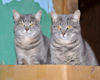 Two blue tabby cats Stock Photography