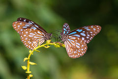 Two Blue Tiger drinking Royalty Free Stock Photography