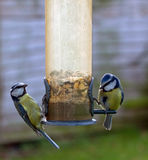 Two Blue Tit birds feeding on seeds. Two Blue Tits either side of a seed feeder in spring time England stock photo