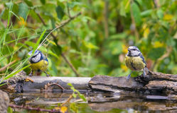 Two Blue Tits at drinking pool Royalty Free Stock Image