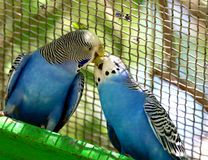 Two Blue and White Parakeets Perched and Kissing Royalty Free Stock Images