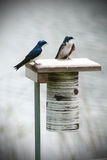 Two blue and white tree swallow birds on a bird perch. Royalty Free Stock Photos
