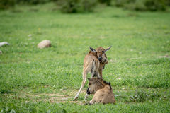 Two Blue wildebeest calves in the grass. Royalty Free Stock Photos